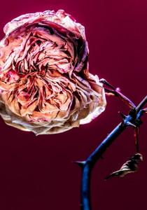 """Rose is a rose is a rose is a rose."""